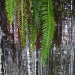 ferns on ice